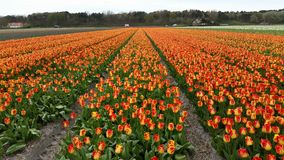 Tulips field in Holland Stock Images