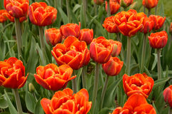 Tulips. In a field in Holland, Michigan Royalty Free Stock Photos