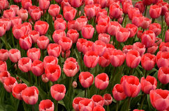 Tulips. In a field in Holland, Michigan Stock Photo
