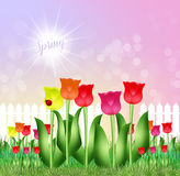 Tulips field. Illustration of tulips field in spring Royalty Free Stock Photography