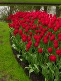 Tulips field in Keukenhof Gardens Royalty Free Stock Images