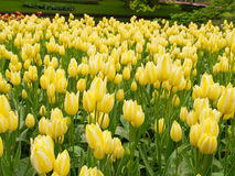 Tulips field in Keukenhof Gardens Stock Photos