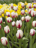 Tulips field in Keukenhof Gardens Royalty Free Stock Photos