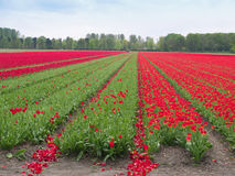 Tulips field in Keukenhof Gardens Royalty Free Stock Photo