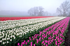 Tulips on field at misty sunrise Royalty Free Stock Image