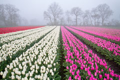 Tulips on field at misty sunrise Stock Image