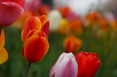 Tulips in a field Royalty Free Stock Photo