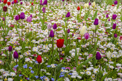 Tulips. Field of multicoloured tulips in park royalty free stock image