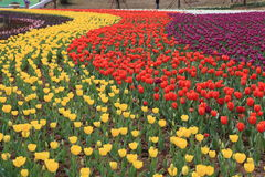 Tulips Field Panorama. Orange and yellow tulips grown in a botanical garden Royalty Free Stock Images