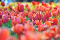 Tulips Field Panorama Royalty Free Stock Image
