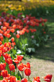 Tulips Field Panorama Royalty Free Stock Images