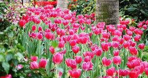 Tulips Field Panorama Royalty Free Stock Photos