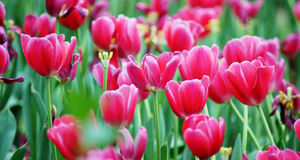 Tulips Field Panorama Stock Photography