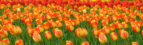 Tulips Field Panorama Stock Photo