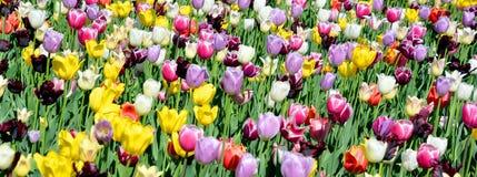 Tulips field Royalty Free Stock Photos