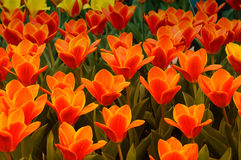 Tulips. Field with plethora number of red tulips on bollenstreek in Netherlands stock photography