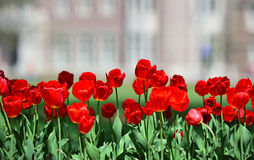 Tulips. A field of red tulips Stock Image