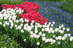 Tulips field in red and white with blue grape hyacinths Stock Photo