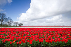 Tulips on field Royalty Free Stock Photo