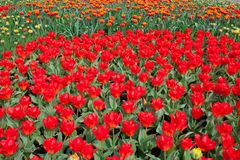 Tulips. A field of red and yellow tulips  in spring Stock Photo