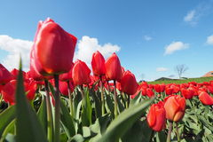 Tulips in the field. Some tulips with  light and shadows Royalty Free Stock Image
