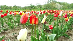 Tulips field. In southern Germany stock footage