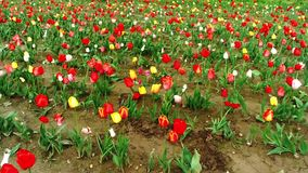 Tulips field. In southern Germany stock video