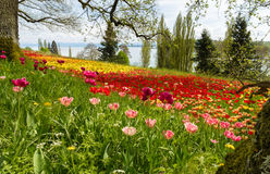 Tulips field in spring with lake and hills in background. Huge meadow of blooming tulips in springtime with a lake and mountains in background. Mainau Island Royalty Free Stock Photography
