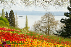 Tulips field in Spring with lake and mountains in background. Tulips field in Spring with a lake and mountains in background. A ferry is crossing the lake Stock Image