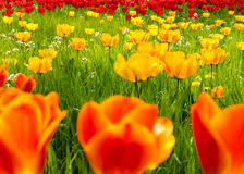 Tulips field in Spring. Orange, yellow and red blooms. A field of glorious spring tulips Royalty Free Stock Photos