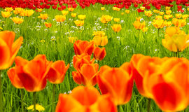 Tulips field in Spring. Orange, yellow and red blooms. A field of glorious spring tulips Stock Photography