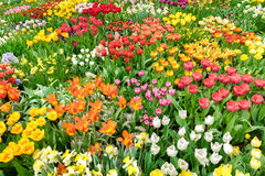 Tulips field in Spring. Sea of flowers. Royalty Free Stock Images