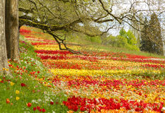 Tulips field in spring with trees and branches. Huge meadow of blooming tulips in springtime trees and branches. Mainau Island, Lake Constance, Bodensee Stock Images