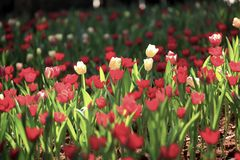 Tulips field. And sunshine in winter season Stock Images