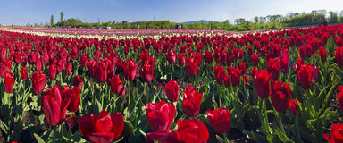 Tulips field. Ukraine, Chernivtsi, April 6, 2015: The field in the village Mamaivtsi, with Dutch varieties tyulpanov- one of the first in Ukraine has become royalty free stock photography