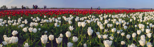 Tulips field. Ukraine, Chernivtsi, April 6, 2015: The field in the village Mamaivtsi, with Dutch varieties tyulpanov- one of the first in Ukraine has become royalty free stock image
