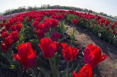 Tulips field. Ukraine, Chernivtsi, April 6, 2015: The field in the village Mamaivtsi, with Dutch varieties tyulpanov- one of the first in Ukraine has become royalty free stock images