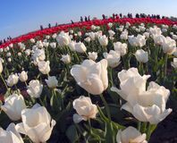 Tulips field. Ukraine, Chernivtsi, April 6, 2015: The field in the village Mamaivtsi, with Dutch varieties tyulpanov- one of the first in Ukraine has become royalty free stock photo