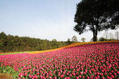 Tulips  field under blue sky Royalty Free Stock Photos