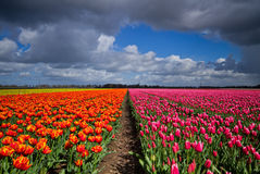 Tulips on field under dark clouds Stock Image