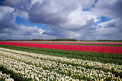 Tulips on field under dark clouds Royalty Free Stock Image