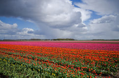 Tulips on field under dark clouds Royalty Free Stock Photos