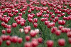 TULIPS FIELD V. An image with red tulips field Stock Photography