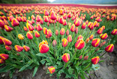 Tulips in a field with wide angle lens Stock Photography