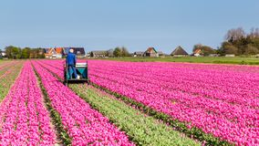 Tulips field worker Netherlands. Farmer working in a tulips field on the waddenisland Texel in the Netherlands stock images