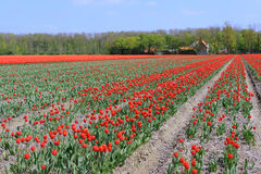 Tulips in the fields Stock Photos