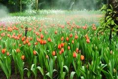 Tulips fields  in flower festival Stock Photo