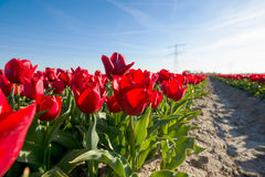 Tulips an fields in spring in the Netherlands. Royalty Free Stock Photo