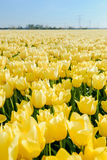 Tulips an fields in spring in the Netherlands. Royalty Free Stock Photography