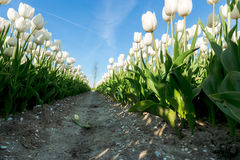Tulips an fields in spring in the Netherlands. Stock Photos